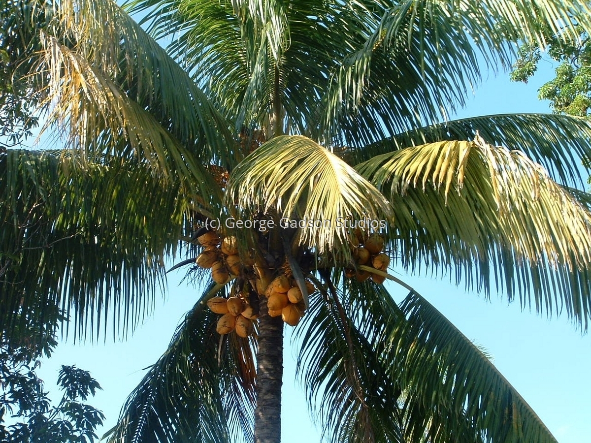 Coconut Palms (large view)