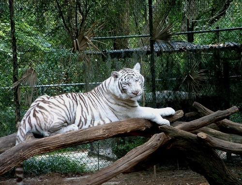 """White Tiger"" (large view)"
