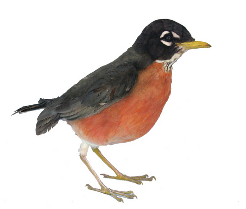 Giant California Robin (large view)