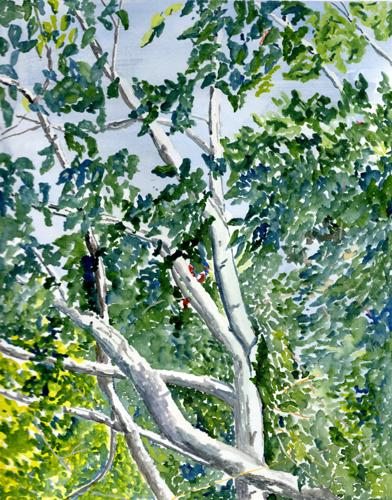 2570-018 alder Trees
