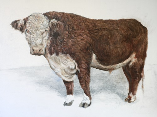 Polled Hereford II-study
