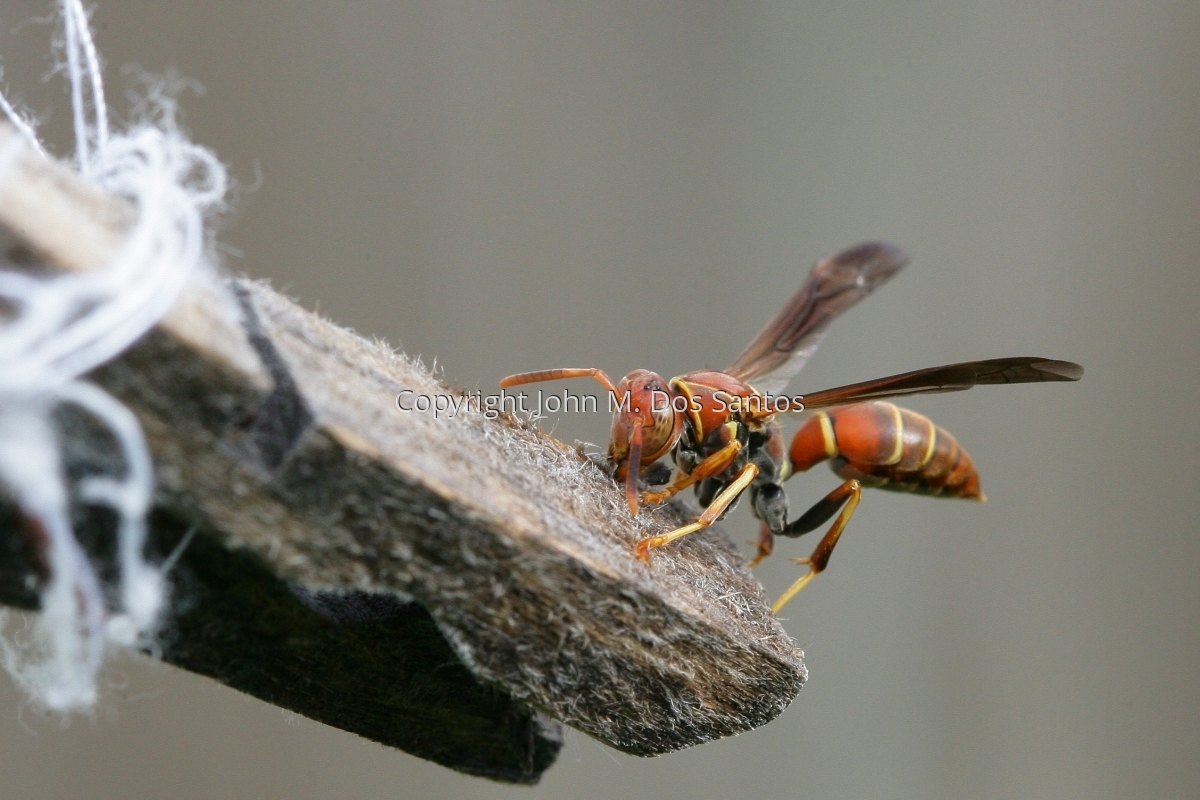 Wasp (large view)