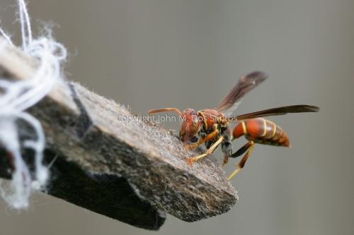 Wasp by grumpysfotos.com