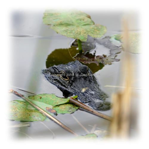 Gator #2
