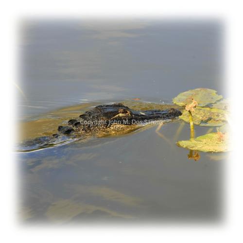 Gator #5
