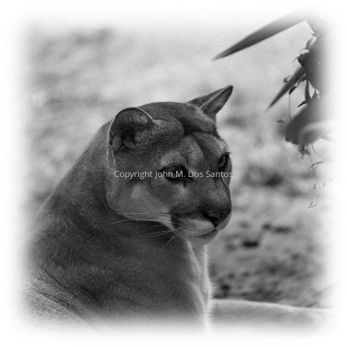 Florida Panther #4