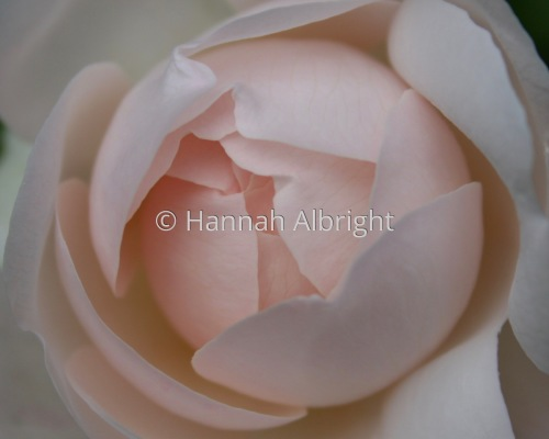 Rose  by Hannah Albright