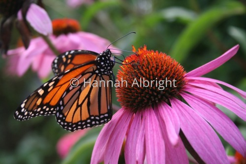 Coneflower Monarch by Hannah Albright