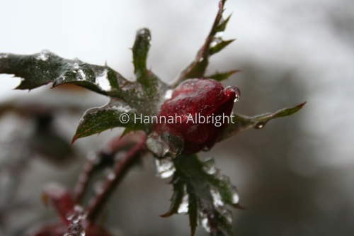 Icy Rose by Hannah Albright