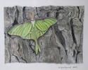 Luna Moth (thumbnail)