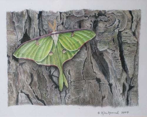 Luna Moth by Kim Hammel