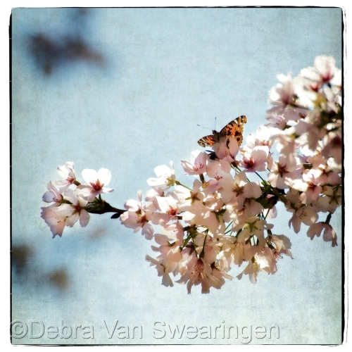Cherry Blossoms I by Van Swearingen Photography