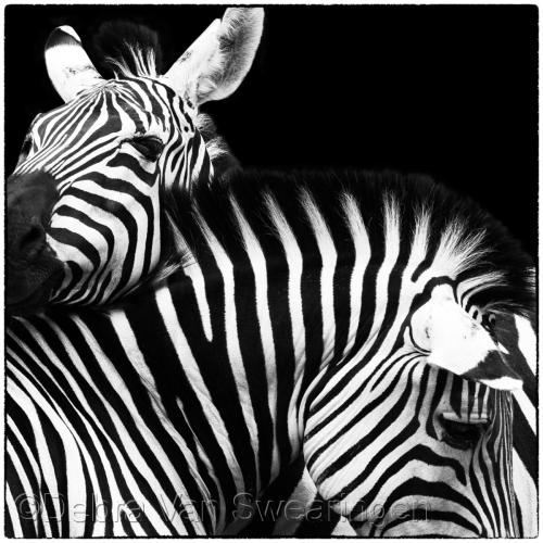 Zebras V