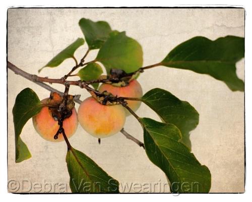 Persimmons - Fruit of the Gods by Van Swearingen Photography