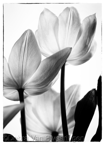 Translucent Tulips II