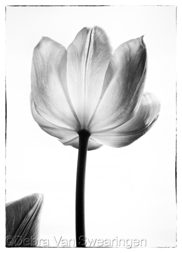 Tranlucent Tulips I by Van Swearingen Photography