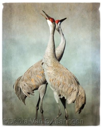 Pas de Deux (Sandhill Cranes)