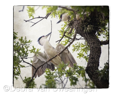 Nesting (Black Crowned Night Herons)