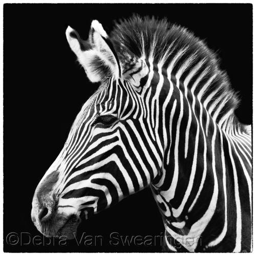 Zebra VI by Van Swearingen Photography