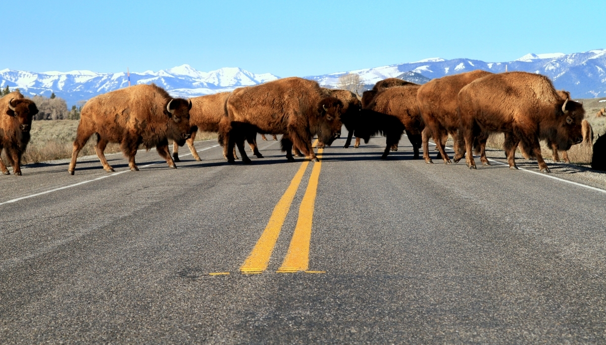 Buffalos in the road (large view)