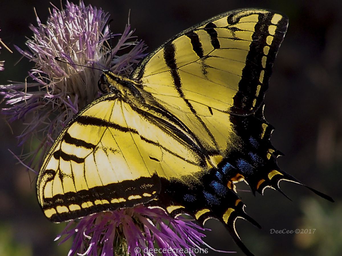 Swallowtail on thistle (large view)