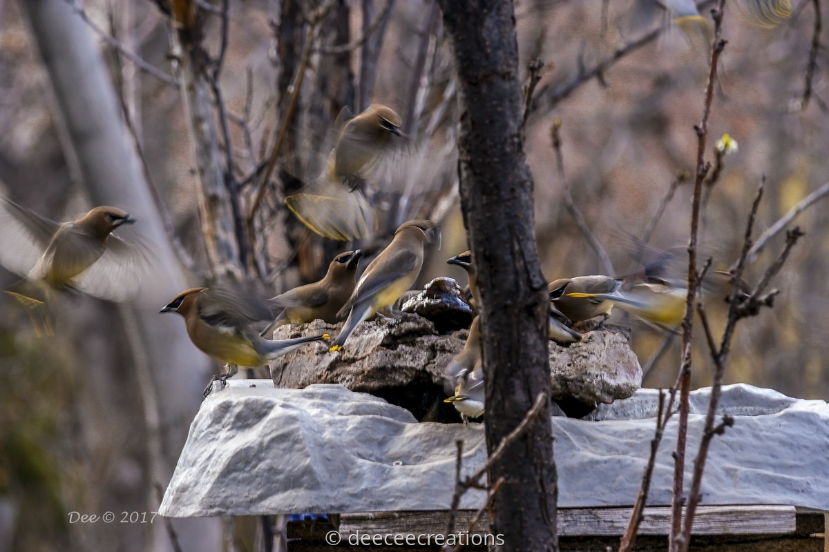 Waxwings at fountain (large view)