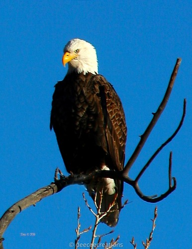 River Eagle