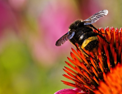 Echinacea with Bubble Bee by Royden Heays