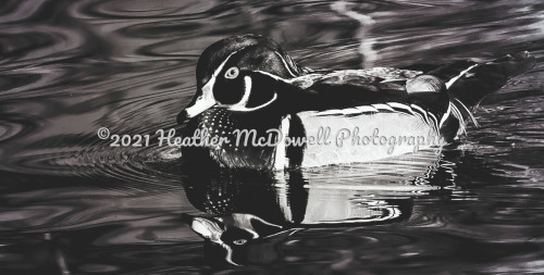 Wood Duck in Black and White