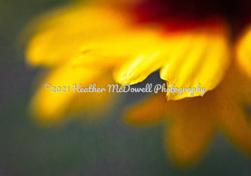 Tip of the petal by Heather McDowell