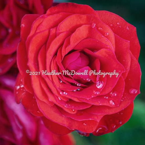 Rose is rose