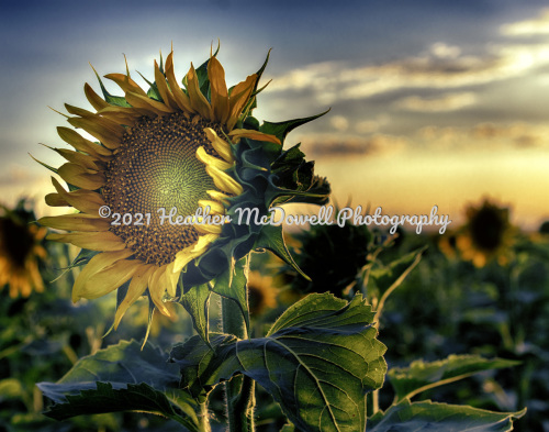 Sunflower Sunset by Heather McDowell