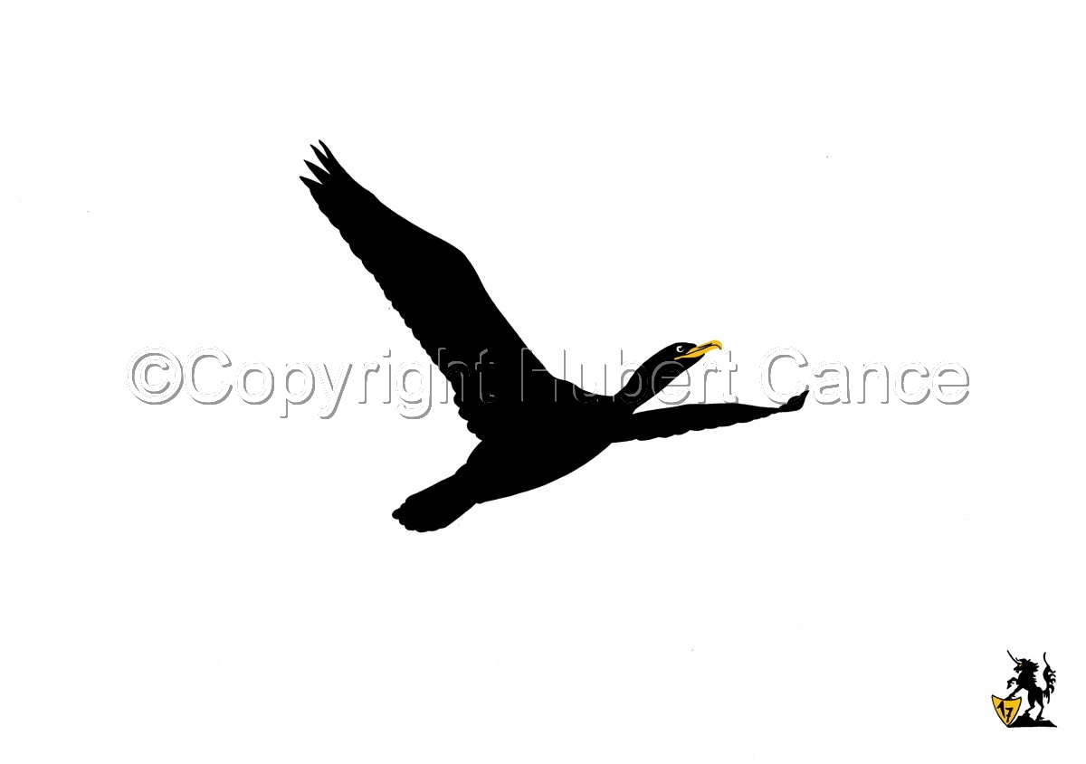 Black, White and... Yellow: Great Cormorant (large view)