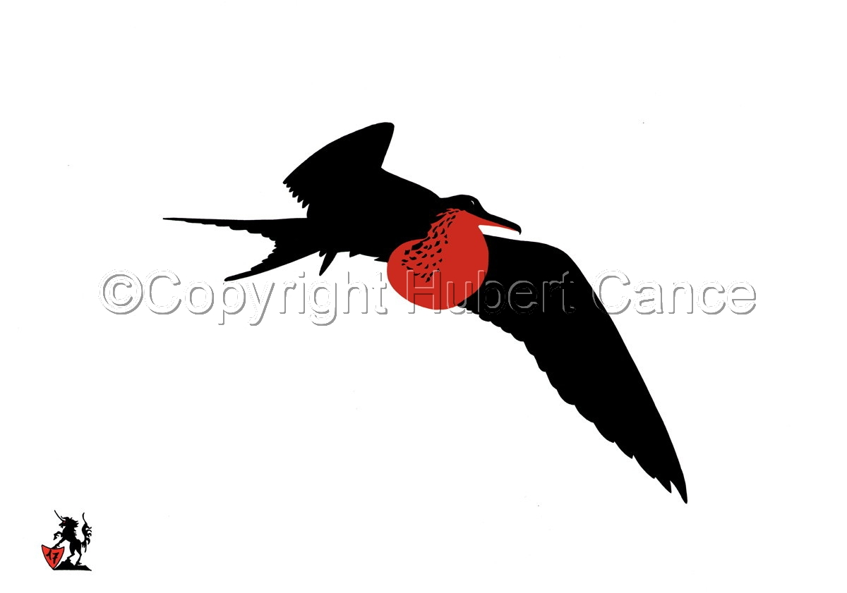 Black, White and... Red: Flying Frigatebird (large view)