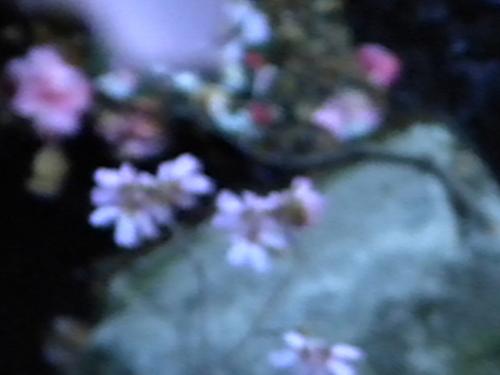 Cherry Blossom and Stream