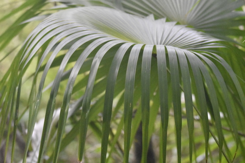 Palm Frond by Eco-Tree