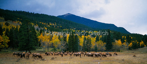 Elk Harem (large view)