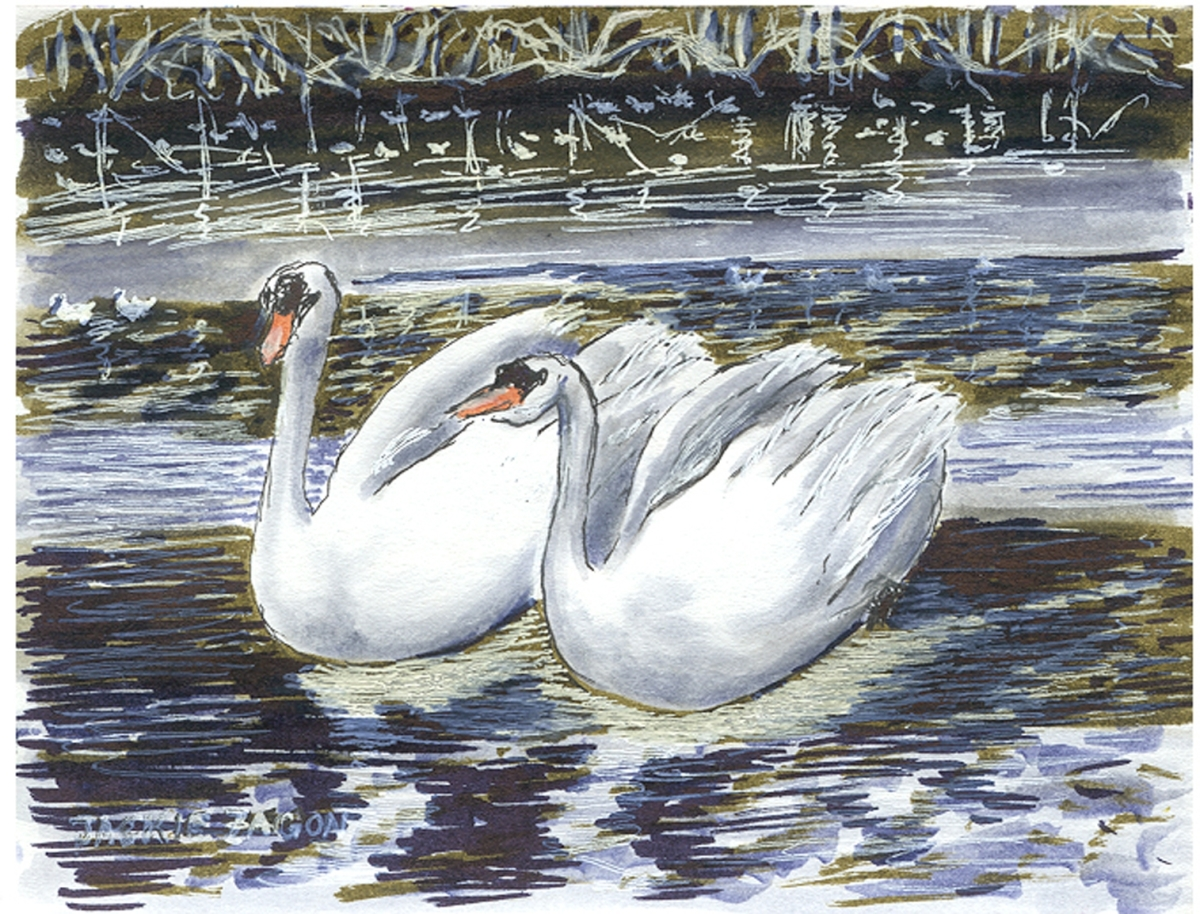 Jackie Zagon, Pen & Ink and Tombow Marker, in watercolor technique. Pair of Mute Swans in winter lake setting, small work (large view)