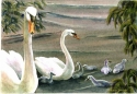 Jackie Zagon, Watercolor, realistic, romantic, male mute swan proudly presents his mate & cygnets (babies) in a springtime, lake front setting. Colors, white, neutrals,orange, greens. Frame: thin gold metal. Mat: double, white. (thumbnail)