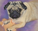 Pug at Play (thumbnail)