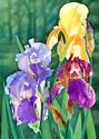 Iris Medley (thumbnail)