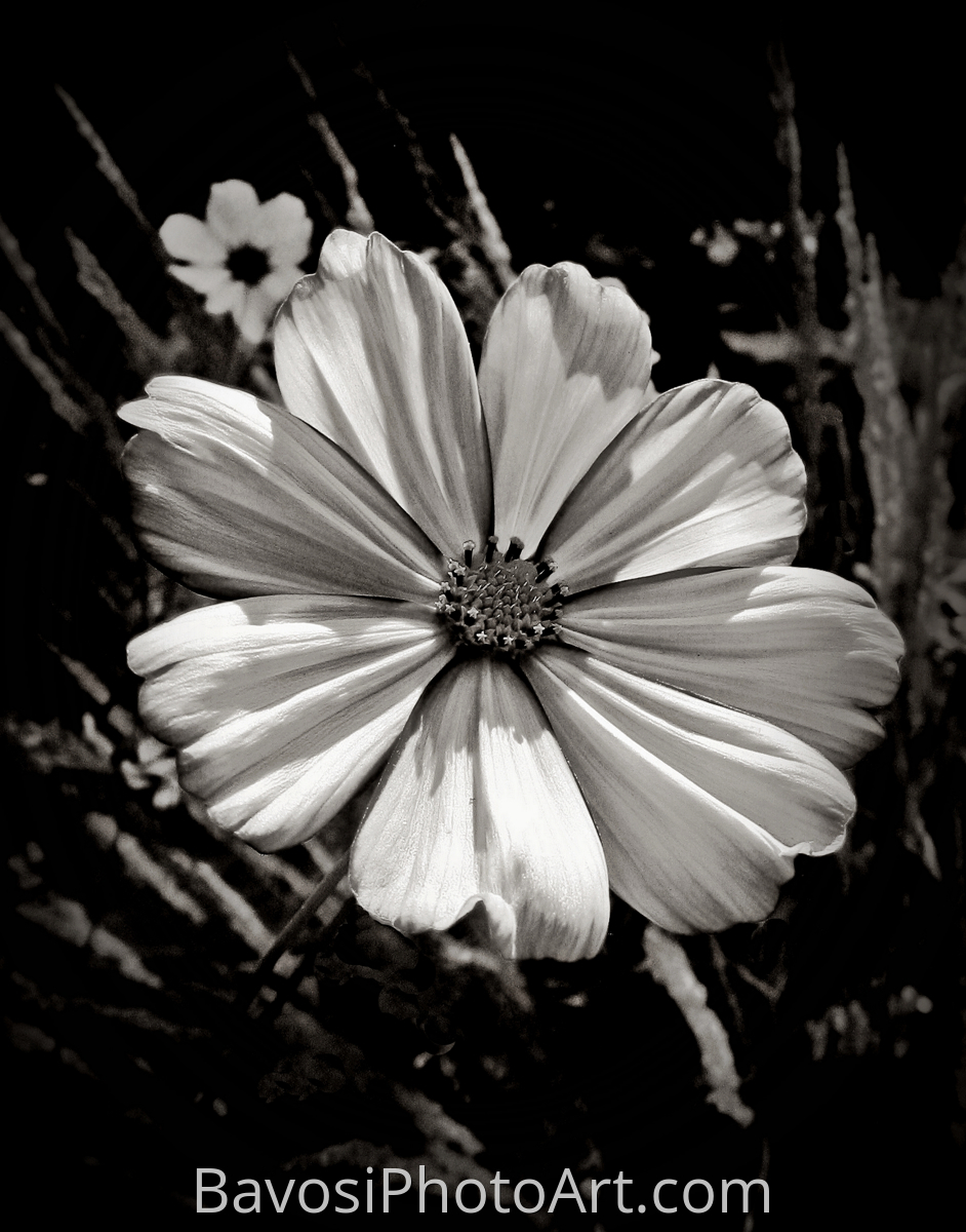 Cosmos In Black and White (large view)