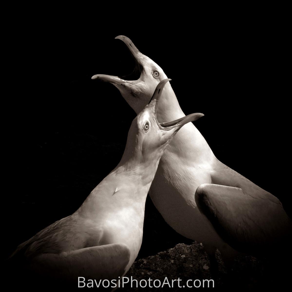 Quarrelling Gulls (large view)