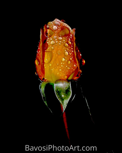 Tear Drop Rose