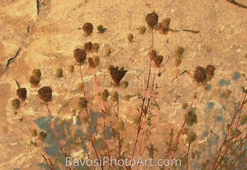 Queen Anne's Lace (on the rocks)