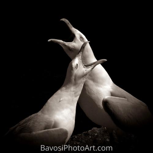 Quarrelling Gulls