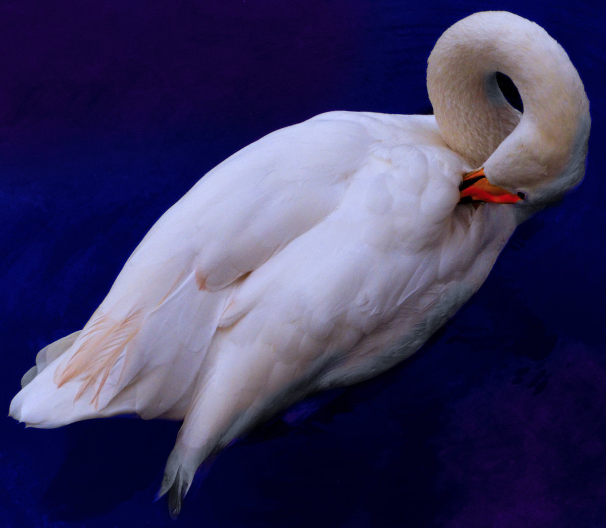 Swan (large view)