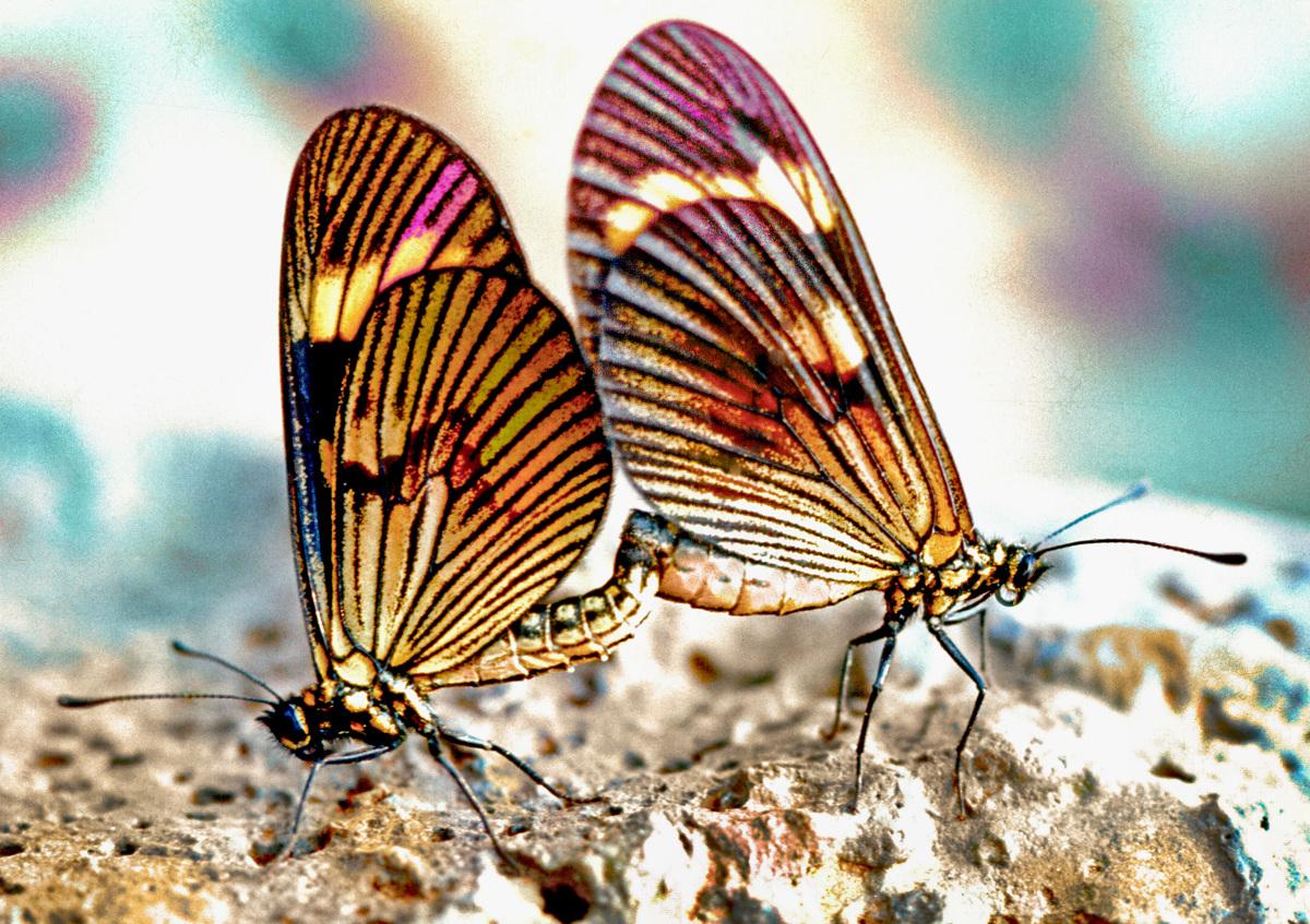 Buterflies (large view)