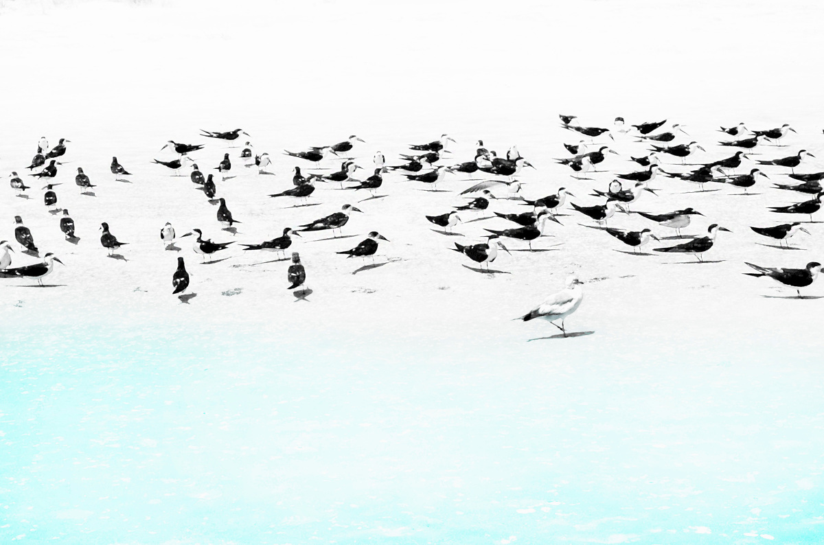 Sandpipers & Seagull (large view)