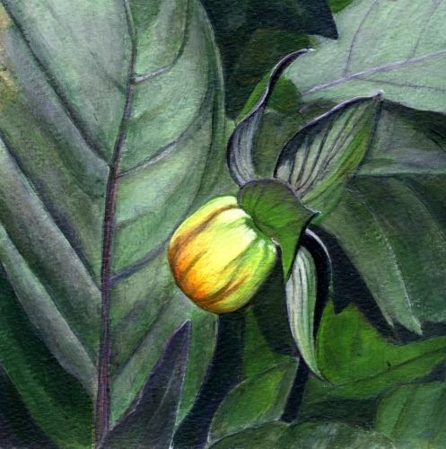 Peach Dahlia Bud